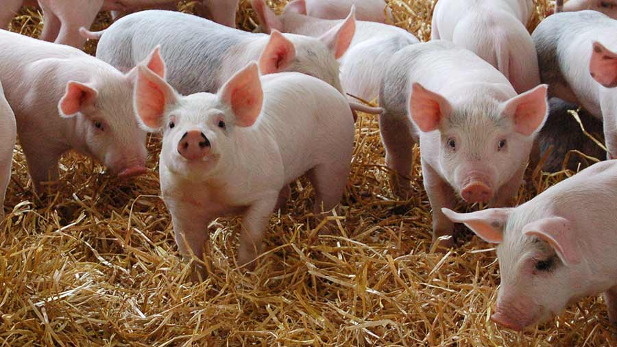 Pigs - FDA: the first genetically modified animals for food and medical products